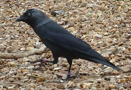 Jackdaw foraging