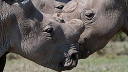 White rhinos