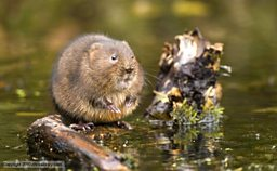 A European water vole