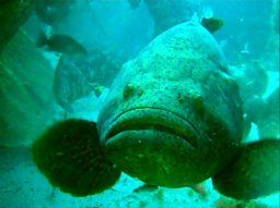 Goliath Grouper at Zion Wreck - Image courtesy of Sarah Frias-Torres