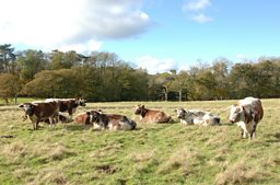 Old English Longhorn Cattle