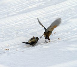Robins fighting