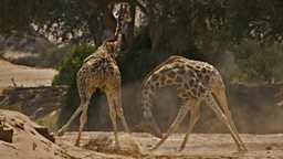 "Giraffe fight producer: ""our jaws hit the floor"""