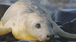 grey-seal-pup