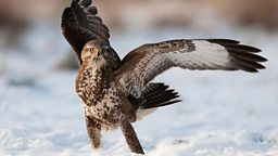 snow buzzard