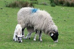 Ram and lamb