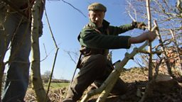 Native hedge – hedge laying