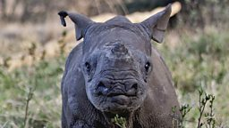 Baby black rhino