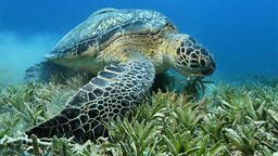 Green turtle BBC Nature