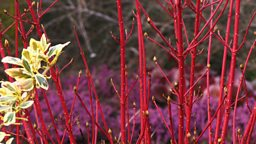 Cornus at Cambridge University Botanic Garden