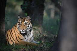 Michael Vickers -  India - Bandhavgarh