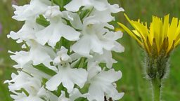 Albino common spotted orchid