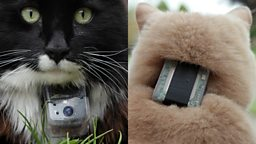Cats with camera/tracking collars
