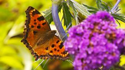 Report your large tortoiseshell butterfly sightings
