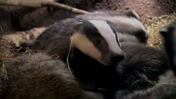 Badger bedding