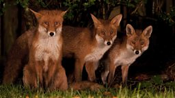 Urban fox cubs.jpg