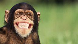 Saving Mr Chimp 拯救大猩猩先生