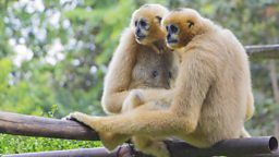 Why do gibbons sing duets?