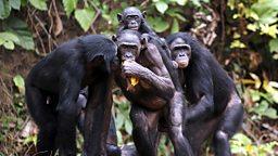 Bonobos' clue to speech evolution 倭黑猩猩的叫声为语言进化提供线索
