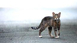 Australia defends cat killing 澳大利亚为宰杀野猫辩解