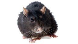 Deforestation attracts black rats 森林砍伐吸引黑鼠