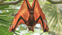 Australian bat invasion