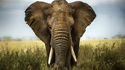 Ambitious plan to re-home elephants 500头野生大象迁徙计划