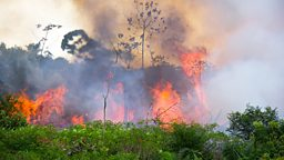 Humans make rainforest more flammable 人类活动使热带雨林更易燃