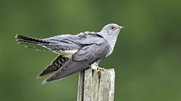 Cuckoo migration 'now more perilous' 布谷鸟迁徙路线更加艰险