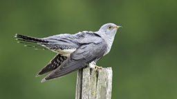 Cuckoo migration 'now more perilous' 布谷鸟迁徙路线更加艰险