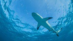 400-year-old Greenland Shark 400岁的格陵兰鲨鱼