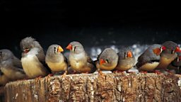 "Zebra finch 'heat song' changes hatchling development ""珍珠鸟""高温时的鸣叫有助于雏鸟生长"