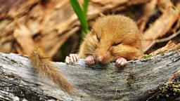 British dormice risk extinction 英国睡鼠面临绝种危机