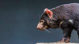 "Tasmanian devil milk fights superbugs 袋獾乳汁可对抗""超级细菌"""
