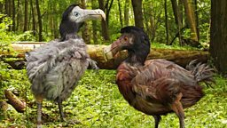Dodo skeleton sells for £350,000 at auction 罕见渡渡鸟骨架以35万英镑成交