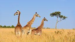 "Giraffes added to 'vulnerable' list 长颈鹿被列入""易危""物种名单"