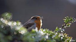 Light pollution dampens urban robins' song 城市光污染抑制知更鸟的鸣唱