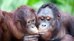 Orangutan squeaks reveal language evolution, says study 科学家称红毛猩猩叫声揭示人类早期语言进化过程