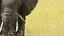 Mysteries of elephant sleep revealed 科学家揭开大象的睡眠模式之谜
