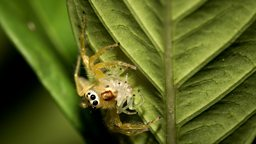 Spiders top the global predator charts 研究称蜘蛛食量居全球捕食性动物之首