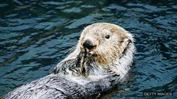 Sea otters ahead of dolphins in using tools 海獭学会使用工具的时间早于海豚