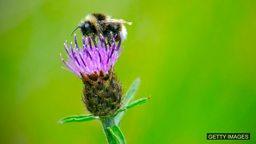 Large-scale study 'shows neonic pesticides harm bees' 大型研究结果显示烟碱类杀虫剂对蜜蜂有害