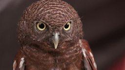 Owls, Toe wrestling 印尼兴起饲养猫头鹰的热潮, 世界掰脚趾大赛