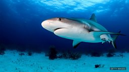 Shark-detecting drones 可探测鲨鱼的无人机