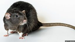 "Black Death 'spread by humans not rats' 黑死病""由人类而非老鼠传播"""