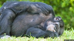 "Are chimpanzee beds cleaner  than human ones? 黑猩猩的""床""比人类的床还干净?"