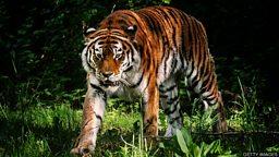 """小测验 — 与""""老虎""""有关的词汇"""