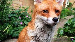 "Gaspard the friendly fox 友好的小狐狸 ""加斯帕德"""