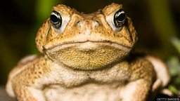 "Cane toad DNA breakthrough 'may help  stop' toxic pest DNA 研究突破 ""可能帮助防治"" 有毒害动物海蟾蜍"