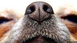 "Dogs could help detect malaria 狗能从袜子里 ""闻"" 出人是否患有疟疾"